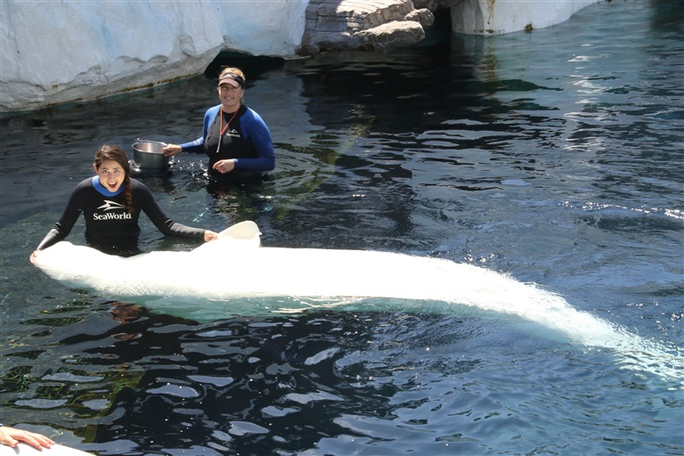 Meeting Klondike, the beluga whale!
